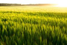 Beautiful Sunset And Wheat Fie...