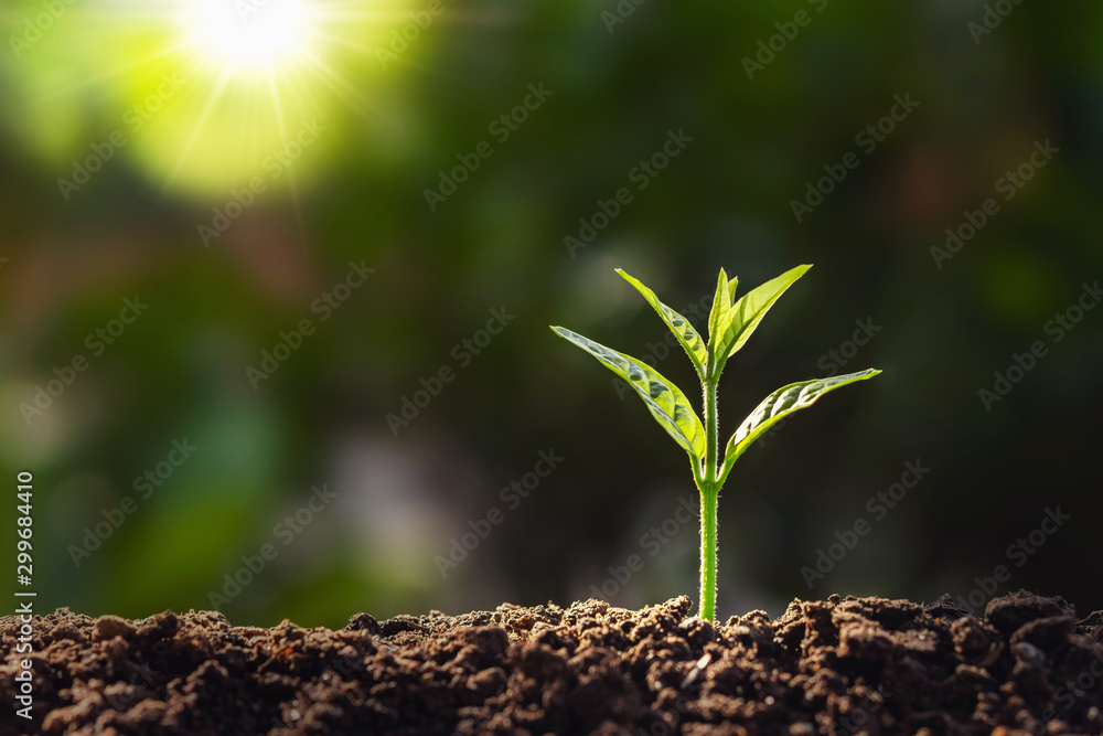 Fototapeta plant growth in farm with sunlight background. agriculture seeding growing step concept