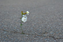 White Flower Grows From Asphal...