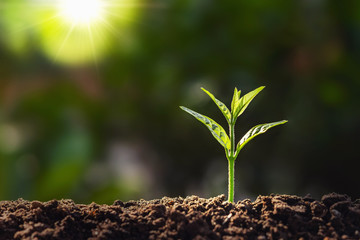 plant growth in farm with sunlight background. agriculture seeding growing step concept