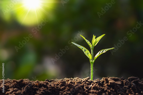 Obraz plant growth in farm with sunlight background. agriculture seeding growing step concept - fototapety do salonu