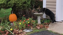 Cat Drinking From A Birdbath S...