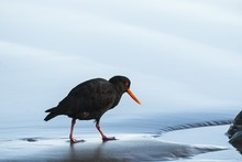 Closeup Shot Of A Black Oystercatcher Walking On A Wet Shore With A Blurred Background