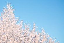 Snow-covered Tree Branches On ...