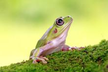 Dumpy Frog, Green Tree Frog, Papua Green Tree Frog