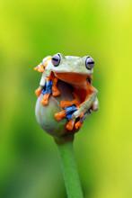 Flying Tree Frog, Javan Tree F...