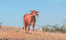 Cow Beautiful View,cow,indian Cow ,cow Eating Grass,Africa Cow,top View Of Cow,Brazilian Cow