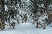 Winter Fir Forest In Snow Carp...