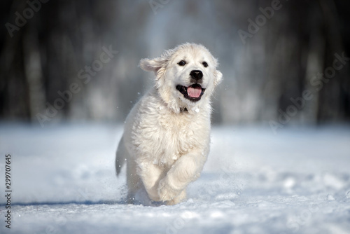 Leinwand Poster  happy golden retriever puppy running in the snow