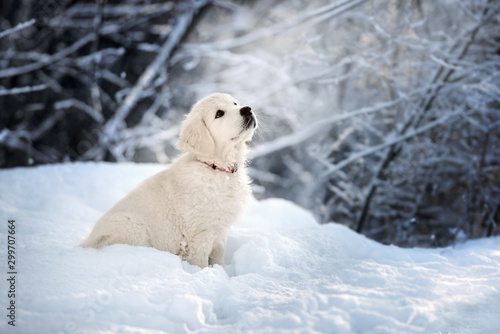 Tela golden retriever puppy sitting in the snow