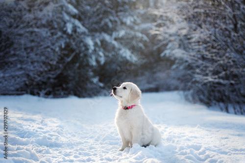 Obraz golden retriever puppy sitting in the forest in winter - fototapety do salonu