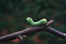 The Big Green Caterpillar On A Branch In The Garden.