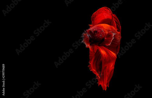Fotomural Betta Siamese fighting fish, Colorful beautiful of half moon long delta tail and