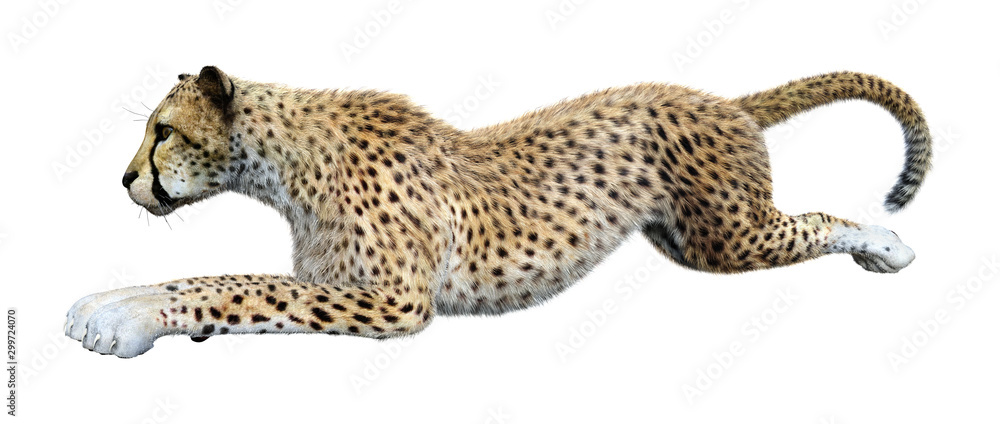 Fototapeta 3D Rendering Big Cat Cheetah on White