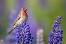 Beautiful House Finch Bird Per...