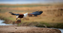Animal Action Photo. African Fish Eagle With Tilapia Fish In Claws,  Flying Directly To Camera Above The Rim Of Riverbank Against Zambezi River Flood Plains In Background. Mana Pools, Zimbabwe.