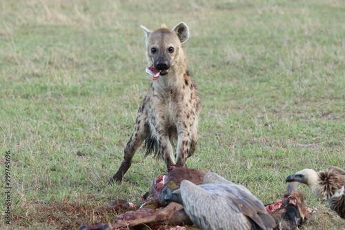 Fotografia, Obraz Spotted hyena (crocuta crocuta) eating a young wildebeest carcass in the african savannah