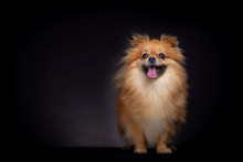 Pomeranian Spitz Dog On Black Background In Studio. Pomeranian Cute Dog Looks At Camera Standing On Table.