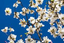 White Magnolia Flower On Tree ...