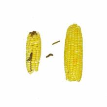 Corn Earworm And Fall Armyworm...