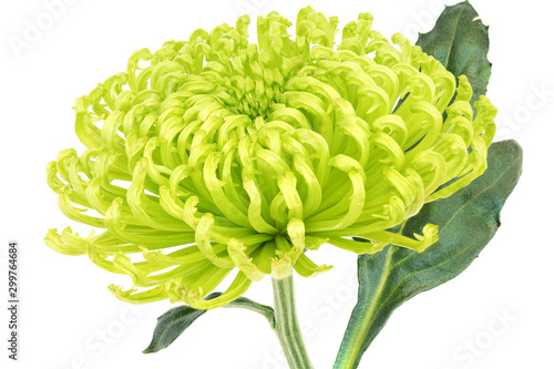 'Shamrock Green' chrysanthemum Wallpaper Mural