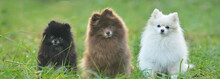 Three Pomeranian Dogs In The Grass