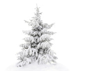 Fir Tree Covered Snow On White Background With Space For Text