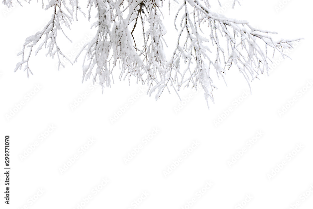 Fototapety, obrazy: Twigs tree covered snow on a white background with space for text