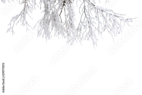 Fotografía  Twigs tree covered snow on a white background with space for text
