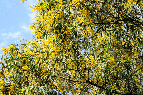 Wattle or Acacia auriculiformis little bouquet flower full blooming in the garde Canvas Print
