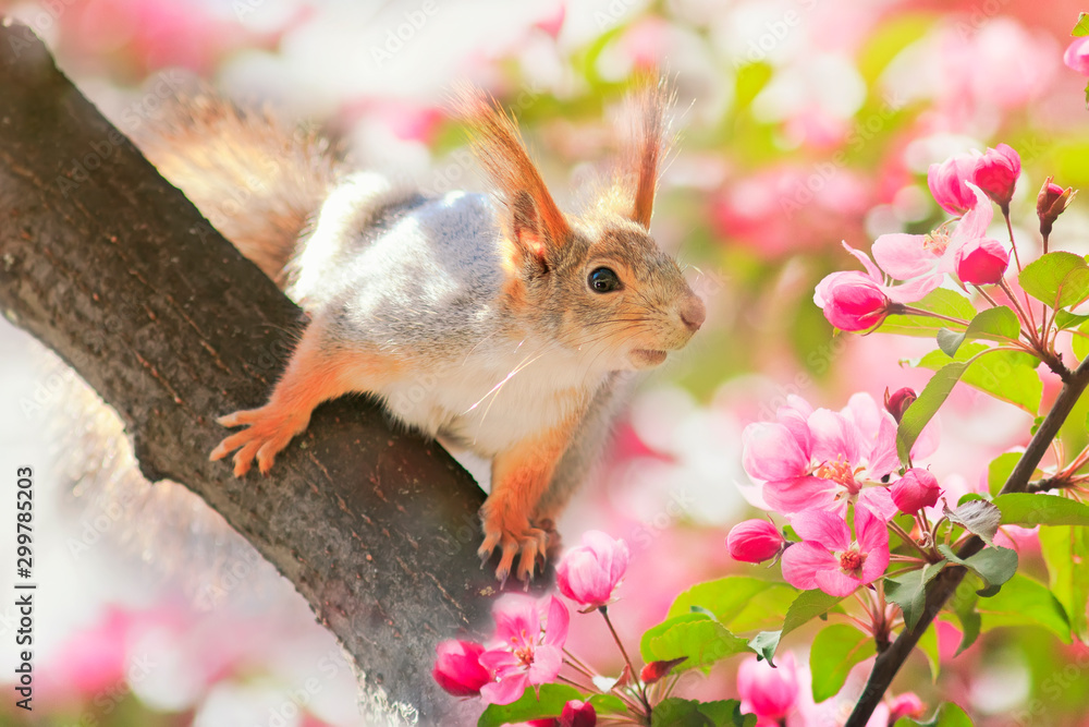 portrait animal cute redhead squirrel sitting on a tree blooming pink Apple tree in the may garden - obrazy, fototapety, plakaty