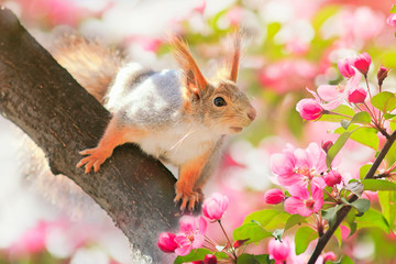 portrait animal cute redhead squirrel sitting on a tree blooming pink Apple tree in the may garden