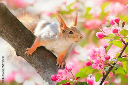 Obraz Wiewiórka na kwitnącym drzewie jabłoni - fototapety do salonu