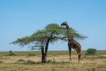 Masai Giraffe (Giraffa Camelopardalis Tippelskirchi), Ndutu, Serengeti UNESCO World Heritage Site, Tanzania