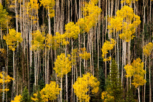 Yellow-leafed trees in the forest - 299792034
