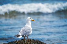 Herring Gull Standing On A Roc...