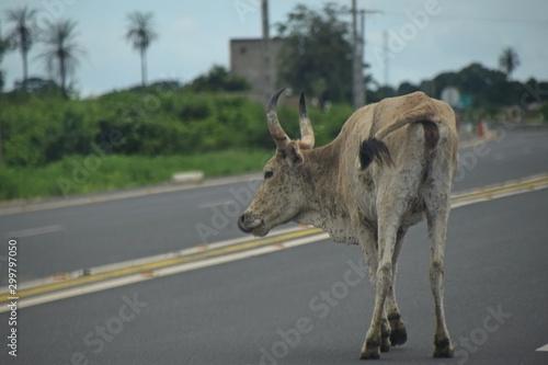 Abgemagertes Rind auf einer Autobahn in Afrika Tablou Canvas