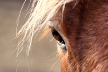 Horse's Eye And Mane