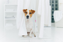 Small Pedigree Dog Poses On Wh...
