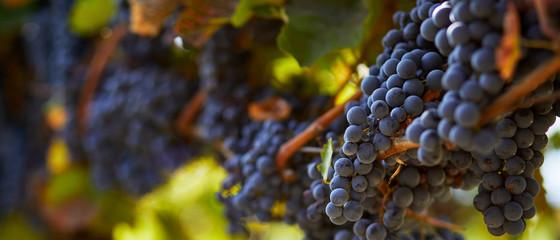 Zrelo plavo grožđe koje visi na vinogradu u jesenskom danu
