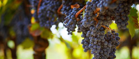 Hrpa plavog grožđa koje visi na vinogradu u jesenskom danu