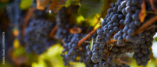 Fotografia Ripe blue grapes hanging on vineyard in autumn day