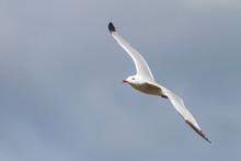 Audouin´s Gull Caught In Flig...