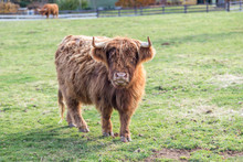 Highland Scottish Cattle In A ...