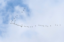 A Wedge Of Cranes In The Autum...