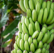 Wild Bananas On The Trees