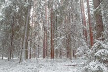 First Snow In A Pine Forest