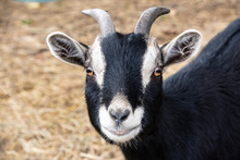 Curious Horned Billy Goat Look...