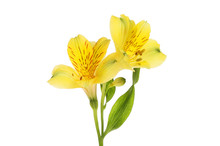 Two Alstroemeria Flowers