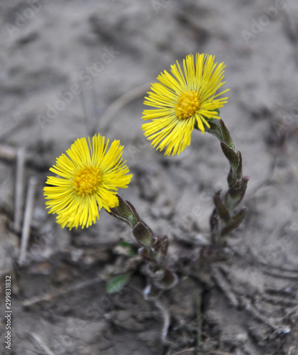 In nature, bloom early spring plant foalfoot (Tussilago farfara) Fototapet